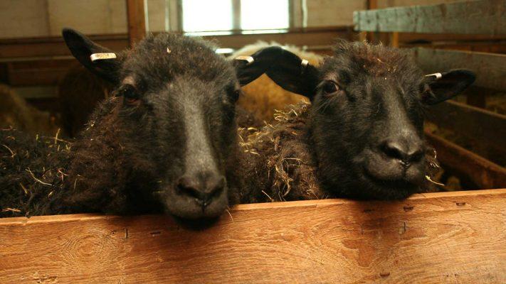 Sundö får - Sundö lampaita