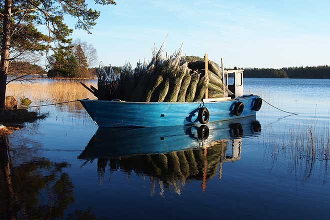 En båt kommer lastad med julgranar